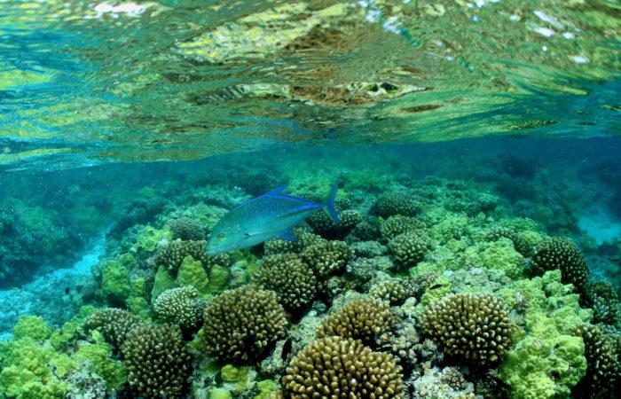 Sea chub (nenue)_coral reefs_NWHI_James Watt (NOAA)